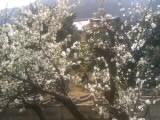 今年も梅が咲いた