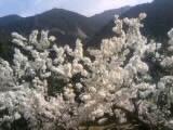 そろそろ桜の季節に梅満開