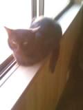 窓際がお気に入りの猫ミーコ