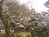 四国中央市の桜  花見スポット  戸川公園