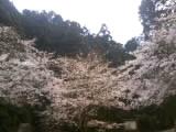 四国中央市の桜  花見スポット  新長谷寺