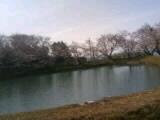 四国中央市の桜  花見スポット 恵之久保公園