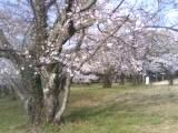 四国中央市の桜  花見スポット すすきヶ原入野公園