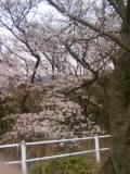 四国中央市の桜  花見スポット  向山公園