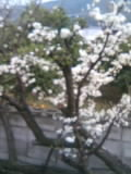 今年も折れてる梅の木に花が咲く