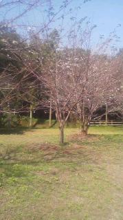 秋なのに、すすきヶ原入野公園で桜が咲いてる